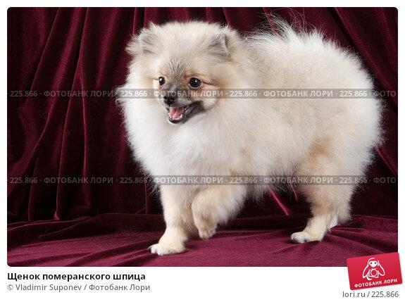 Щенок померанского шпица, фото № 225866, снято 26 ноября 2007 г. (c) Vladimir Suponev / Фотобанк Лори