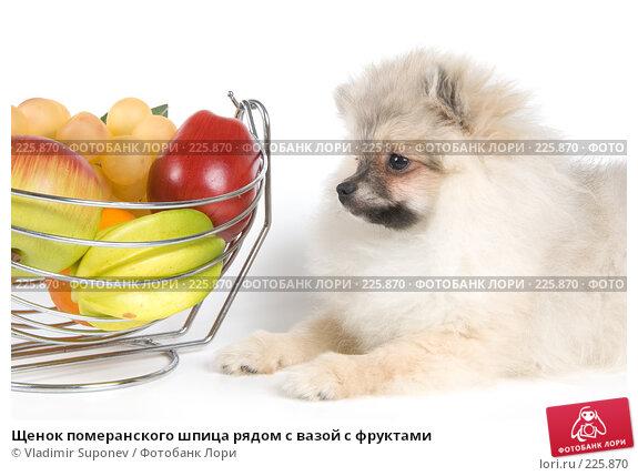 Щенок померанского шпица рядом с вазой с фруктами, фото № 225870, снято 17 ноября 2007 г. (c) Vladimir Suponev / Фотобанк Лори