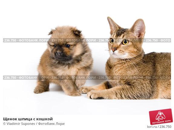 Щенок шпица с кошкой, фото № 236750, снято 9 марта 2008 г. (c) Vladimir Suponev / Фотобанк Лори