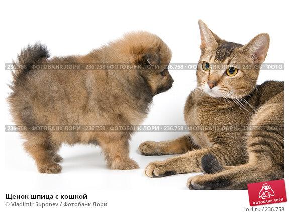 Щенок шпица с кошкой, фото № 236758, снято 16 марта 2008 г. (c) Vladimir Suponev / Фотобанк Лори