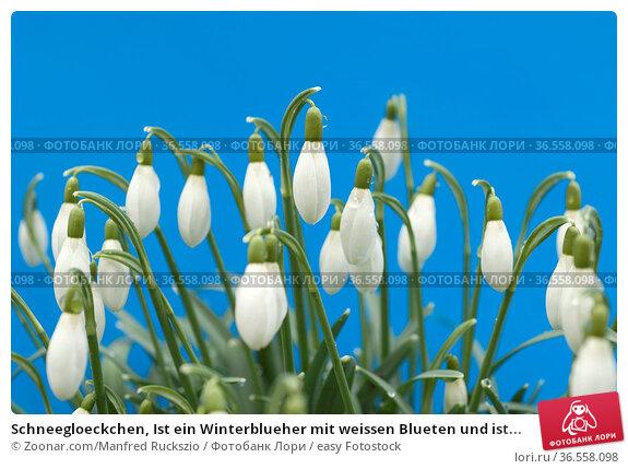 Schneegloeckchen, Ist ein Winterblueher mit weissen Blueten und ist... Стоковое фото, фотограф Zoonar.com/Manfred Ruckszio / easy Fotostock / Фотобанк Лори