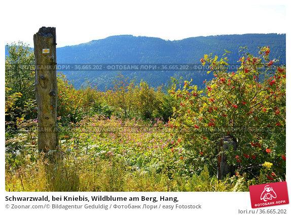 Schwarzwald, bei Kniebis, Wildblume am Berg, Hang, Стоковое фото, фотограф Zoonar.com/© Bildagentur Geduldig / easy Fotostock / Фотобанк Лори