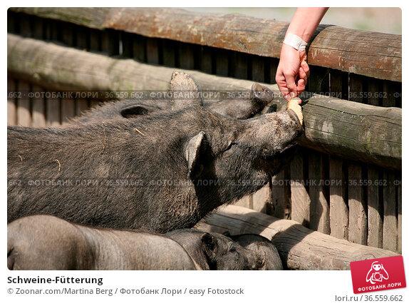 Schweine-Fütterung. Стоковое фото, фотограф Zoonar.com/Martina Berg / easy Fotostock / Фотобанк Лори