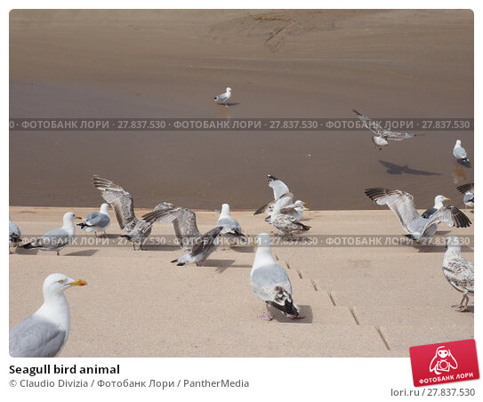Купить «Seagull bird animal», фото № 27837530, снято 16 октября 2018 г. (c) PantherMedia / Фотобанк Лори