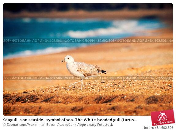 Seagull is on seaside - symbol of sea. The White-headed gull (Larus... Стоковое фото, фотограф Zoonar.com/Maximilian Buzun / easy Fotostock / Фотобанк Лори