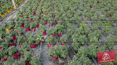 Купить «Seedlings of tomatoes growing in pots in greenhouse», видеоролик № 33113466, снято 26 апреля 2019 г. (c) Яков Филимонов / Фотобанк Лори