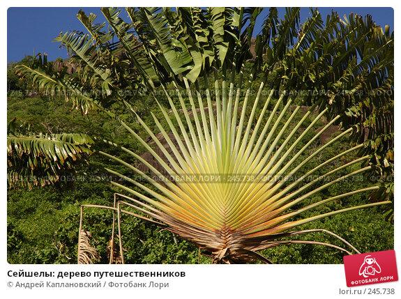 Сейшелы: дерево путешественников, фото № 245738, снято 29 августа 2007 г. (c) Андрей Каплановский / Фотобанк Лори
