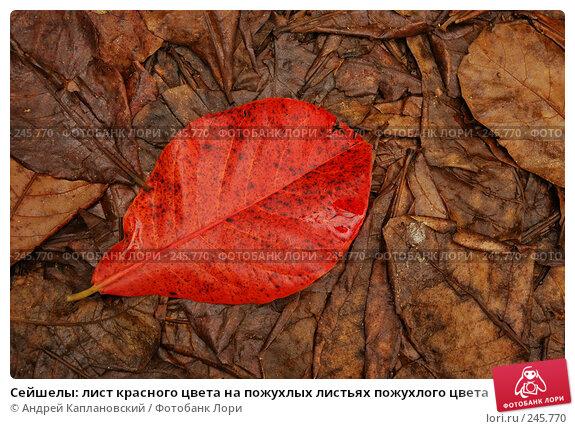 Сейшелы: лист красного цвета на пожухлых листьях пожухлого цвета, фото № 245770, снято 31 августа 2007 г. (c) Андрей Каплановский / Фотобанк Лори