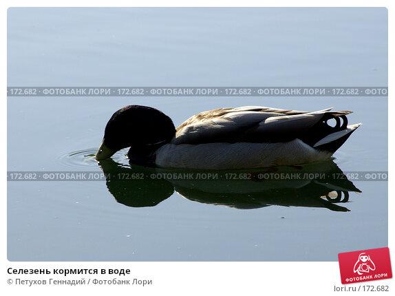 Селезень кормится в воде, фото № 172682, снято 26 мая 2007 г. (c) Петухов Геннадий / Фотобанк Лори
