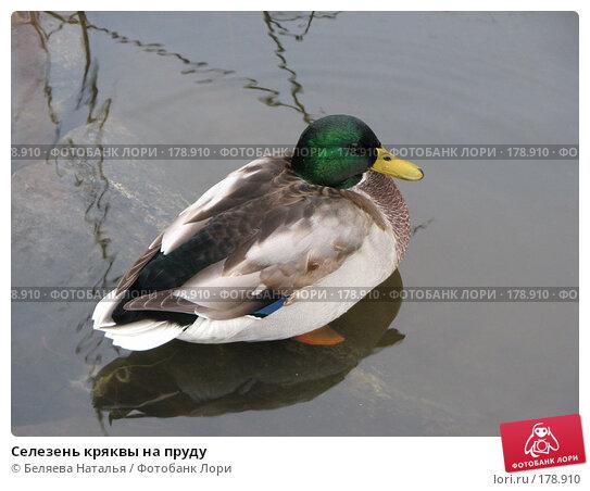 Селезень кряквы на пруду, фото № 178910, снято 28 октября 2007 г. (c) Беляева Наталья / Фотобанк Лори