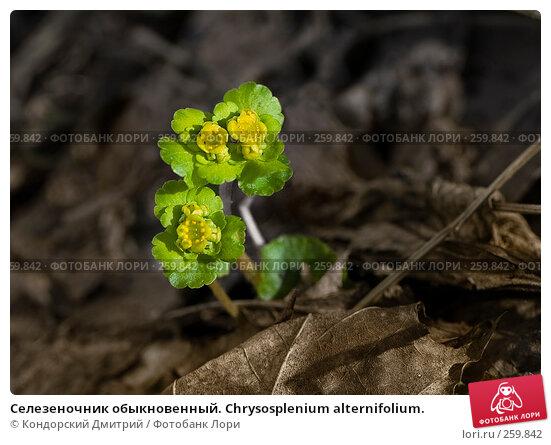 Селезеночник обыкновенный. Chrysosplenium alternifolium., фото № 259842, снято 6 апреля 2008 г. (c) Кондорский Дмитрий / Фотобанк Лори