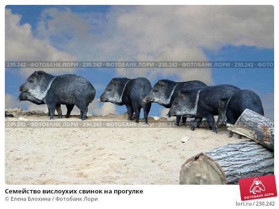 Семейство вислоухих свинок на прогулке, фото № 230242, снято 2 октября 2007 г. (c) Елена Блохина / Фотобанк Лори