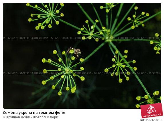Семена укропа на темном фоне, фото № 68610, снято 3 июля 2007 г. (c) Крупнов Денис / Фотобанк Лори