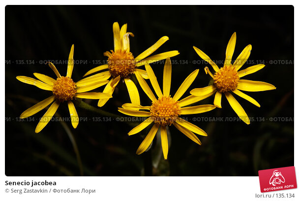 Senecio jacobea, фото № 135134, снято 14 августа 2006 г. (c) Serg Zastavkin / Фотобанк Лори