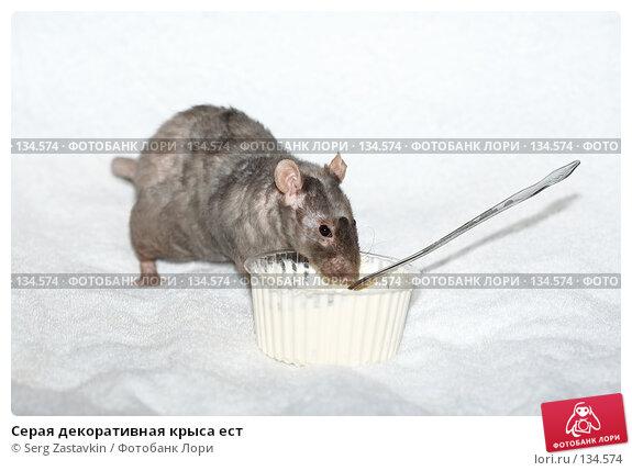 Серая декоративная крыса ест, фото № 134574, снято 11 октября 2006 г. (c) Serg Zastavkin / Фотобанк Лори