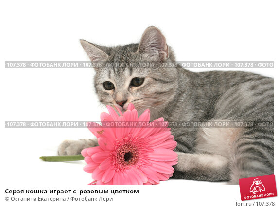 Серая кошка играет с  розовым цветком, фото № 107378, снято 16 октября 2007 г. (c) Останина Екатерина / Фотобанк Лори