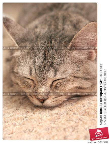 Серая кошка которая спит на ковре, фото № 107390, снято 24 октября 2007 г. (c) Останина Екатерина / Фотобанк Лори