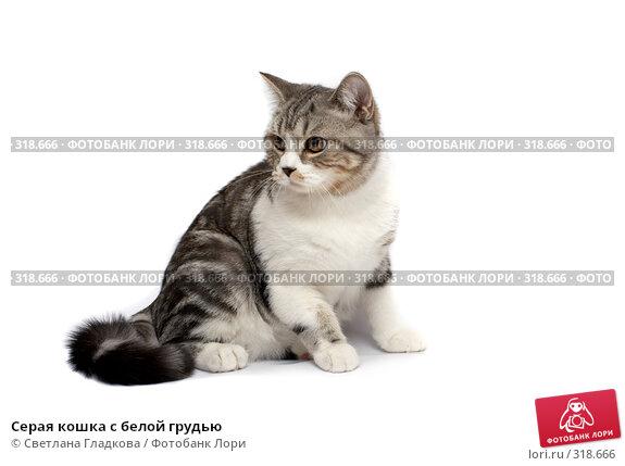 Купить «Серая кошка с белой грудью», фото № 318666, снято 12 апреля 2008 г. (c) Cветлана Гладкова / Фотобанк Лори