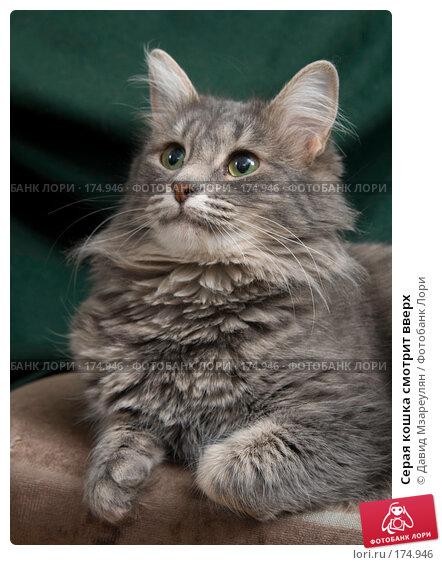 Купить «Серая кошка смотрит вверх», фото № 174946, снято 12 января 2008 г. (c) Давид Мзареулян / Фотобанк Лори