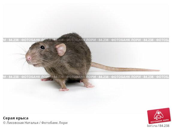 Серая крыса, фото № 84238, снято 15 сентября 2007 г. (c) Лисовская Наталья / Фотобанк Лори