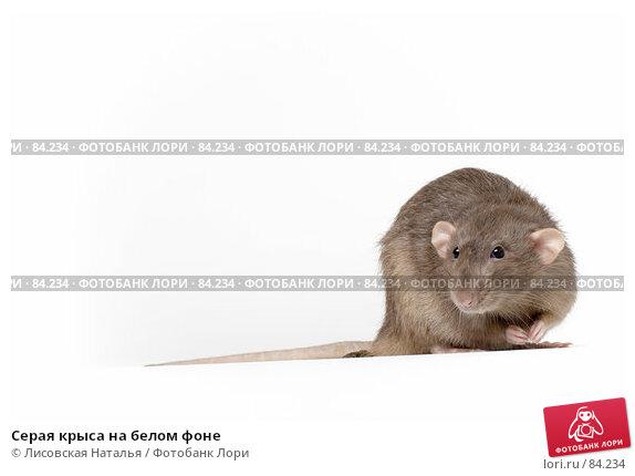 Серая крыса на белом фоне, фото № 84234, снято 15 сентября 2007 г. (c) Лисовская Наталья / Фотобанк Лори