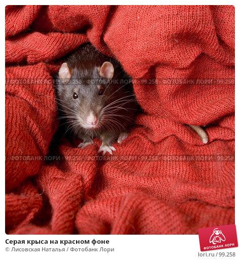 Серая крыса на красном фоне, фото № 99258, снято 14 октября 2007 г. (c) Лисовская Наталья / Фотобанк Лори