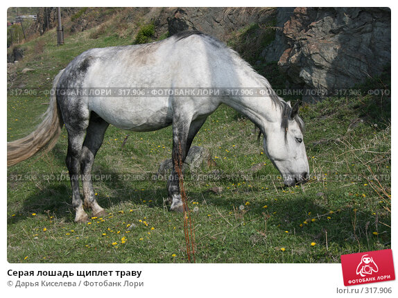 Серая лошадь щиплет траву, фото № 317906, снято 1 июня 2008 г. (c) Дарья Киселева / Фотобанк Лори