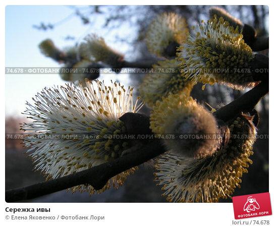 Сережка ивы, фото № 74678, снято 15 сентября 2005 г. (c) Елена Яковенко / Фотобанк Лори