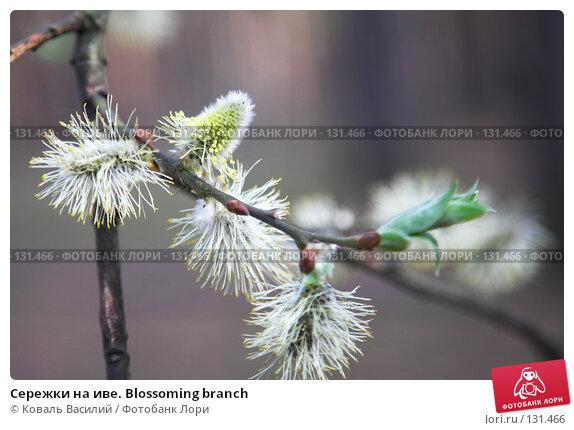 Сережки на иве. Blossoming branch, фото № 131466, снято 29 апреля 2007 г. (c) Коваль Василий / Фотобанк Лори