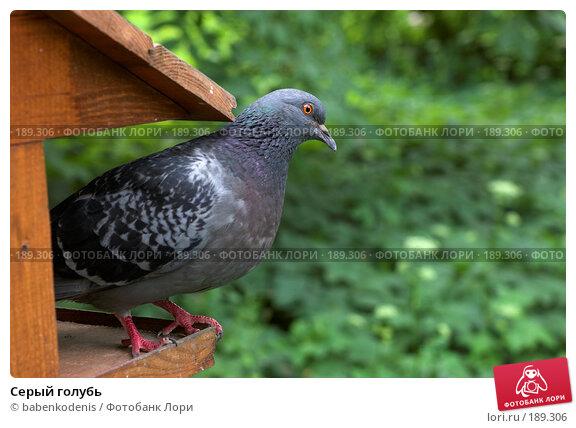 Серый голубь, фото № 189306, снято 18 июня 2006 г. (c) Бабенко Денис Юрьевич / Фотобанк Лори