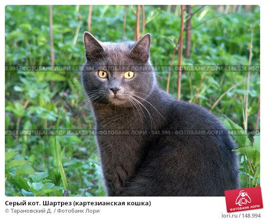 Серый кот. Шартрез (картезианская кошка), фото № 148994, снято 20 мая 2007 г. (c) Тарановский Д. / Фотобанк Лори