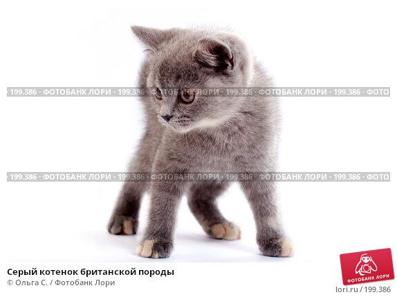 Серый котенок британской породы, фото № 199386, снято 29 мая 2007 г. (c) Ольга С. / Фотобанк Лори