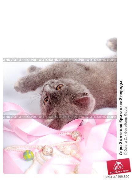Серый котенок британской породы, фото № 199390, снято 29 мая 2007 г. (c) Ольга С. / Фотобанк Лори