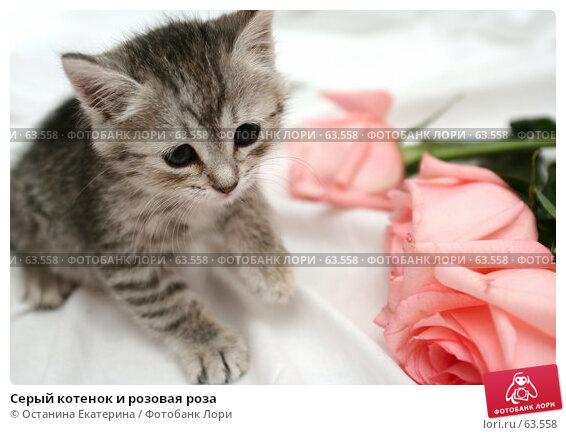 Серый котенок и розовая роза, фото № 63558, снято 13 июля 2007 г. (c) Останина Екатерина / Фотобанк Лори