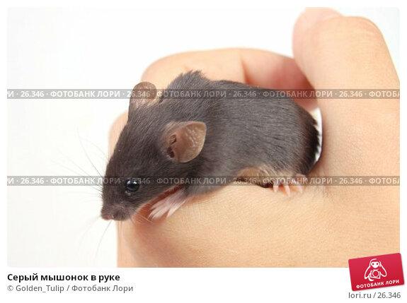 Серый мышонок в руке, фото № 26346, снято 18 марта 2007 г. (c) Golden_Tulip / Фотобанк Лори