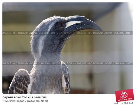 Купить «Серый токо Tockus nasutus», фото № 296346, снято 13 мая 2008 г. (c) Михаил Котов / Фотобанк Лори