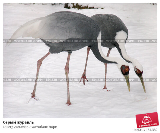 Серый журавль, фото № 134330, снято 7 ноября 2004 г. (c) Serg Zastavkin / Фотобанк Лори