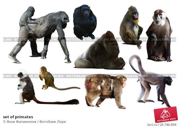 Купить «set of primates», фото № 26746894, снято 24 апреля 2019 г. (c) Яков Филимонов / Фотобанк Лори