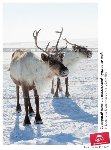 Купить «Северный олень в ямальской тундре зимой», фото № 26116602, снято 14 апреля 2017 г. (c) Владимир Мельников / Фотобанк Лори