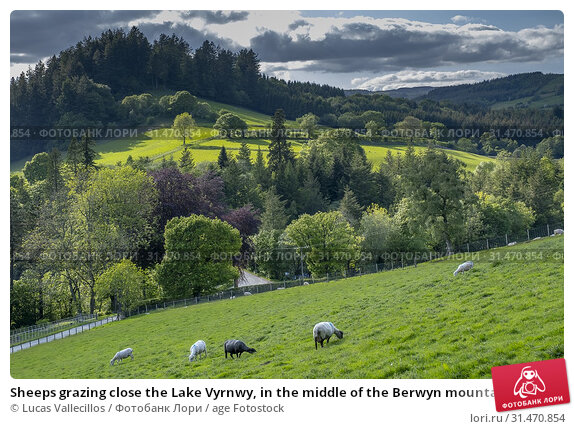 Купить «Sheeps grazing close the Lake Vyrnwy, in the middle of the Berwyn mountain range, Powys, Wales.», фото № 31470854, снято 26 января 2020 г. (c) age Fotostock / Фотобанк Лори