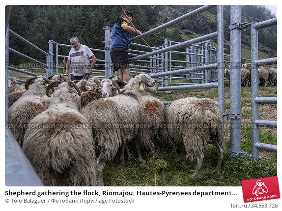 Shepherd gathering the flock, Riomajou, Hautes-Pyrenees department... Стоковое фото, фотограф Tolo Balaguer / age Fotostock / Фотобанк Лори