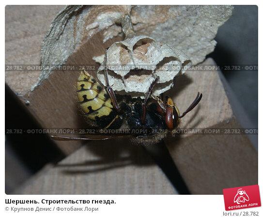 Шершень. Строительство гнезда., фото № 28782, снято 28 мая 2005 г. (c) Крупнов Денис / Фотобанк Лори