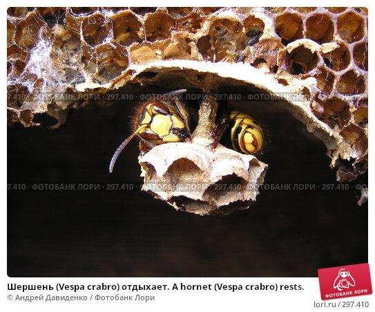 Шершень (Vespa crabro) отдыхает. A hornet (Vespa crabro) rests., фото № 297410, снято 18 мая 2008 г. (c) Андрей Давиденко / Фотобанк Лори