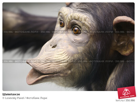 Купить «Шимпанзе», фото № 350986, снято 21 марта 2019 г. (c) Losevsky Pavel / Фотобанк Лори