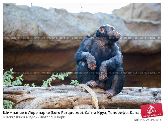 Купить «Шимпанзе в Лоро парке (Loro Parque zoo), Санта Круз, Тенерифе, Канарские острова», фото № 24392614, снято 4 января 2016 г. (c) Кекяляйнен Андрей / Фотобанк Лори