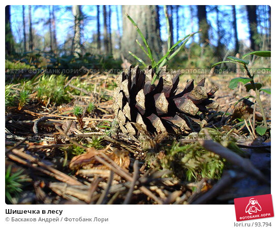 Купить «Шишечка в лесу», фото № 93794, снято 17 апреля 2005 г. (c) Баскаков Андрей / Фотобанк Лори
