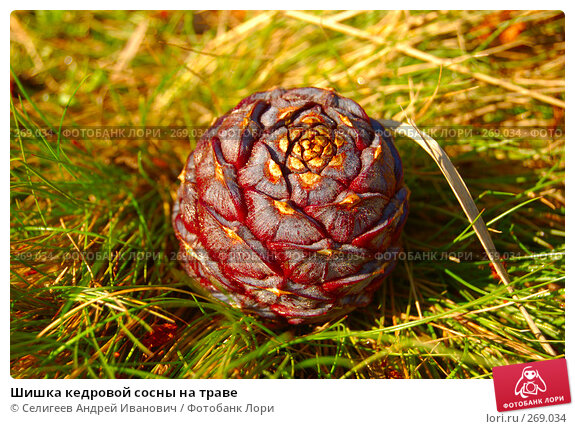 Шишка кедровой сосны на траве, фото № 269034, снято 28 августа 2007 г. (c) Селигеев Андрей Иванович / Фотобанк Лори
