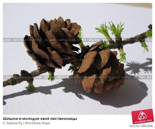 Купить «Шишки и молодая хвоя лиственницы», фото № 266034, снято 26 апреля 2008 г. (c) Заноза-Ру / Фотобанк Лори