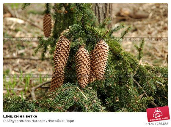 Купить «Шишки на ветке», фото № 286886, снято 1 мая 2008 г. (c) Абдурагимова Наталия / Фотобанк Лори