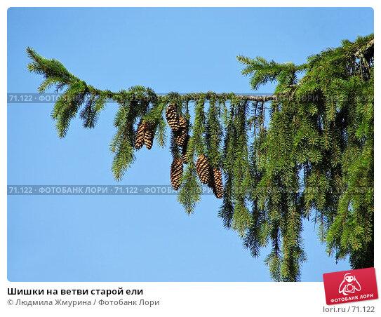 Купить «Шишки на ветви старой ели», фото № 71122, снято 12 августа 2007 г. (c) Людмила Жмурина / Фотобанк Лори